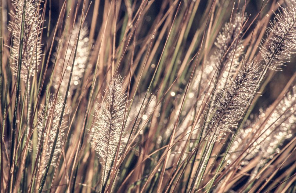 Download Free Stock HD Photo of Rose Fountain Grass Online