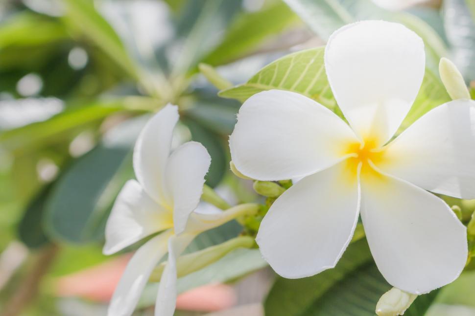 Download Free Stock HD Photo of Frangipani Plumeria Flower  Online