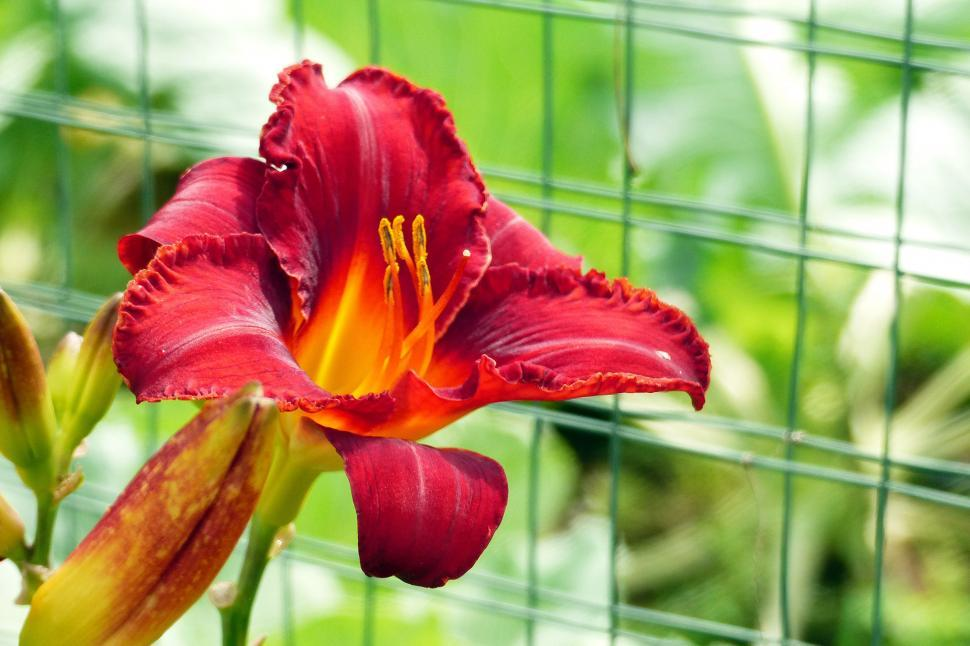 Download Free Stock HD Photo of Daylily   Momma s Red Peppers  Flower Online