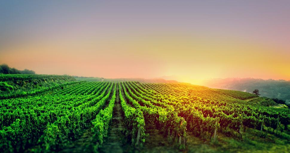 Download Free Stock HD Photo of Sunrise Over the Vineyard Online