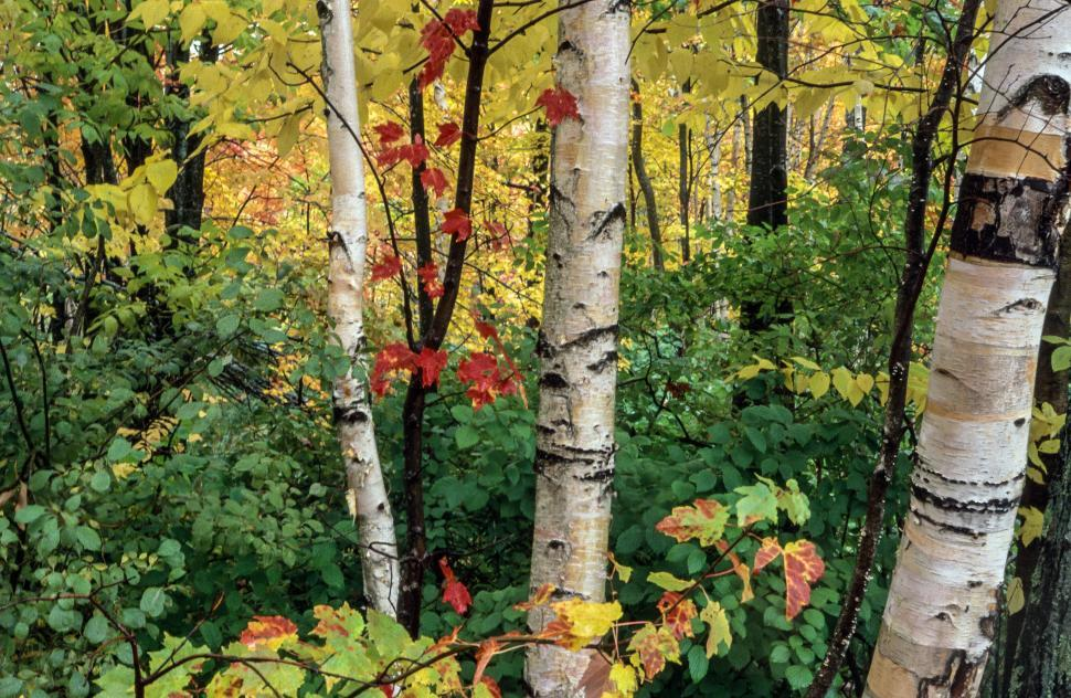 Download Free Stock HD Photo of View of Autumn Birch Trees Online
