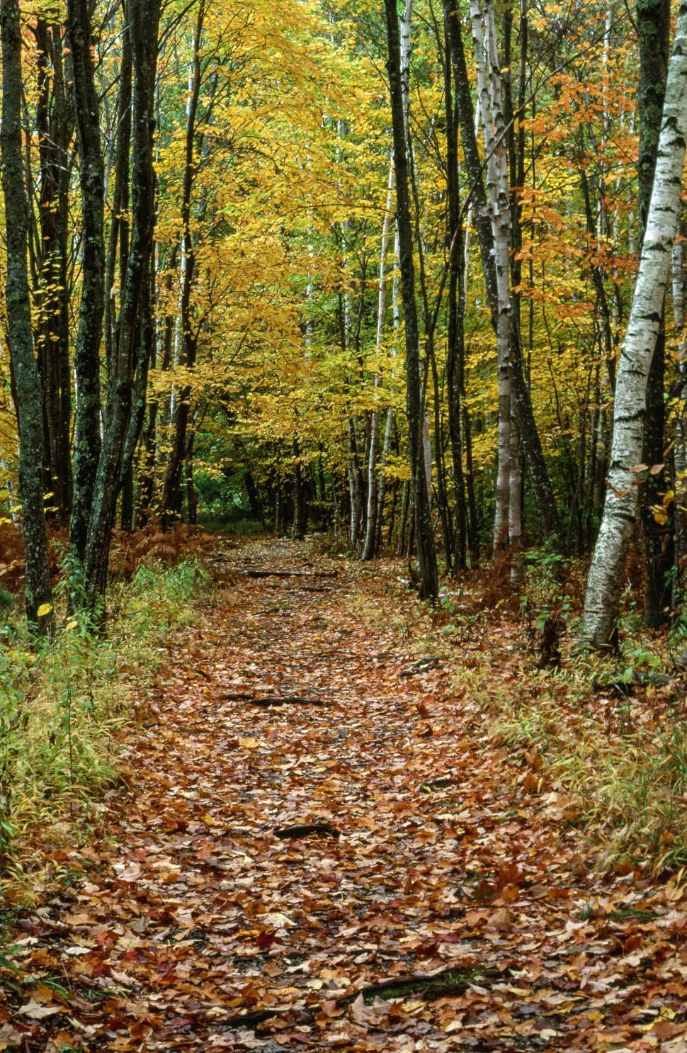 Get Free Stock Photos of Scenic View Of Autumn Birch Forest