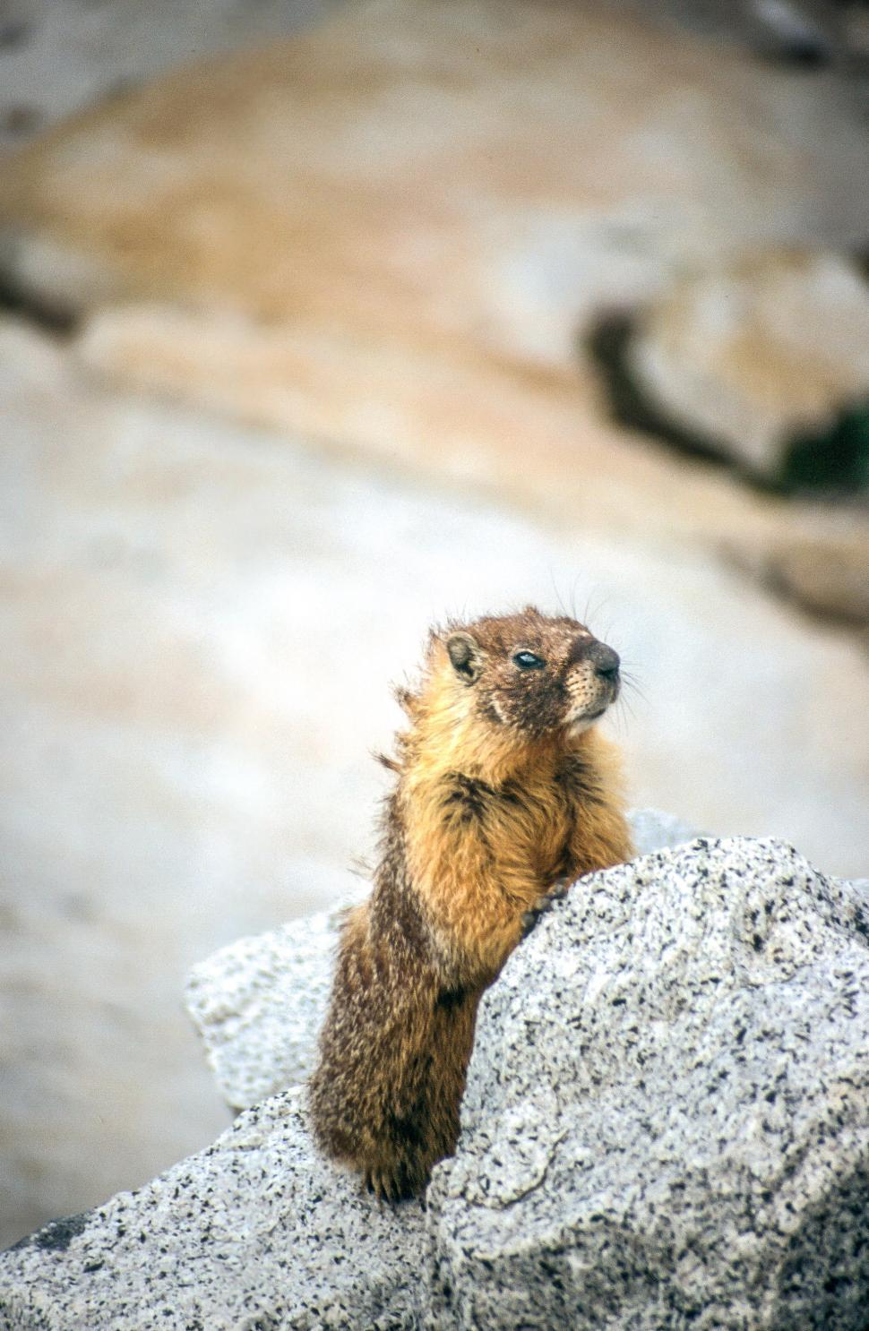 Download Free Stock HD Photo of Marmot in Yosemite Online