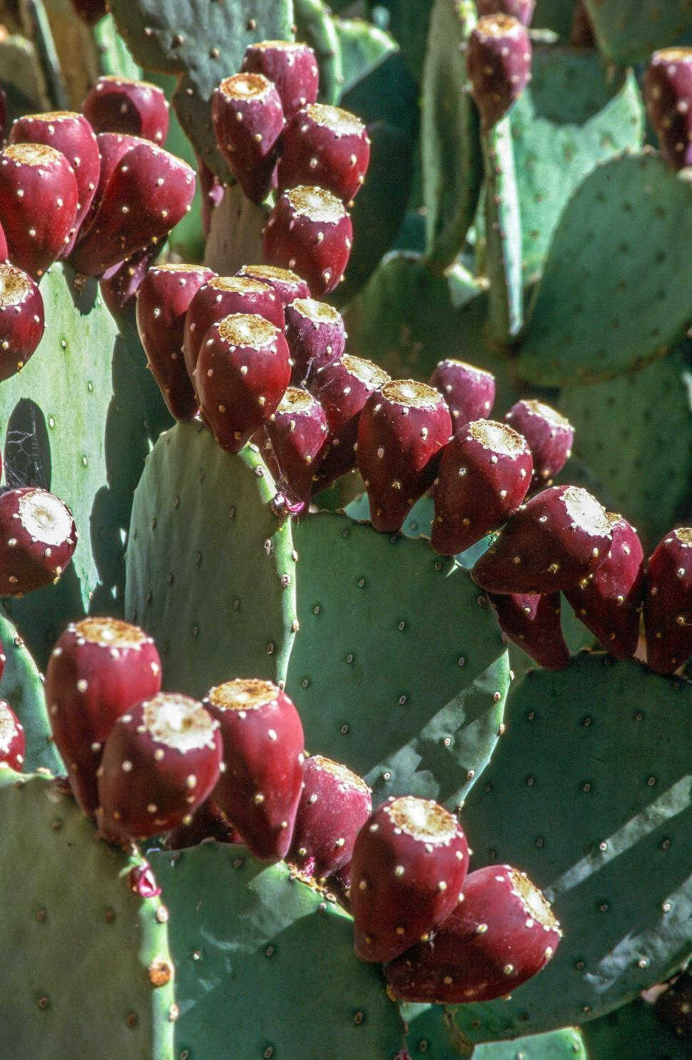Download Free Stock HD Photo of Cactus fruit Online