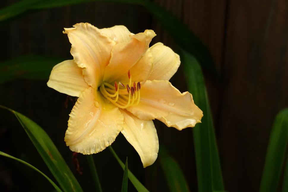 Download Free Stock HD Photo of Day Lily  Nature Girl  Online