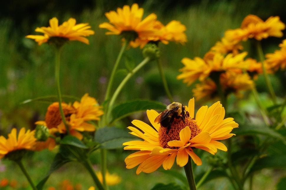 Download Free Stock HD Photo of Honey Bee and Yellow Flowers Online