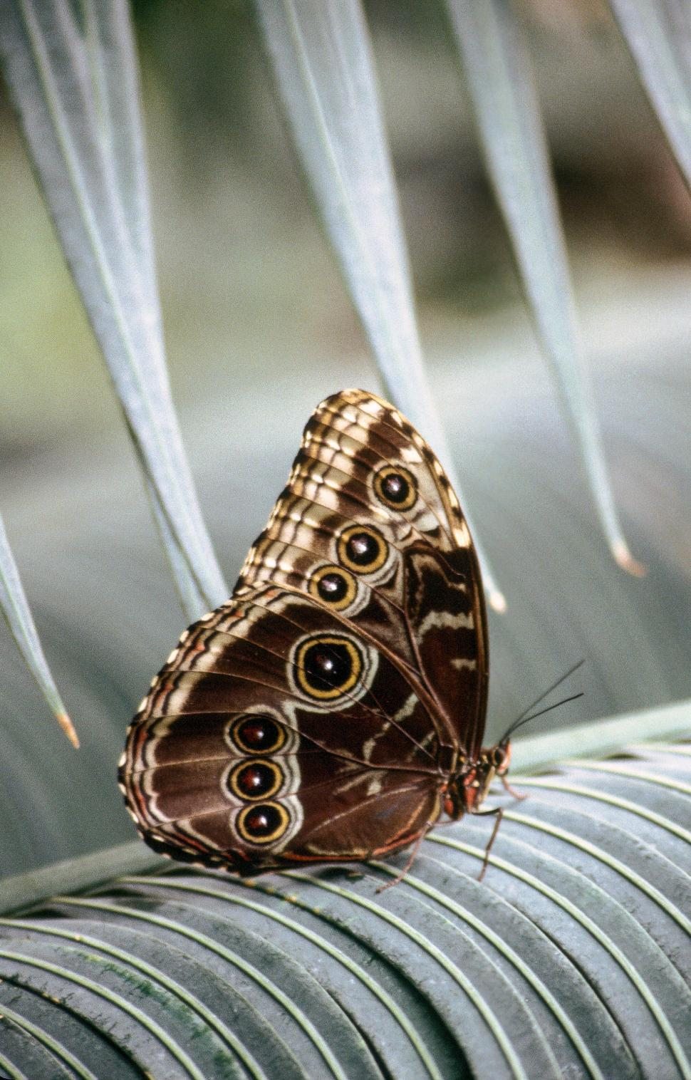 Download Free Stock HD Photo of Common Blue Morpho Online