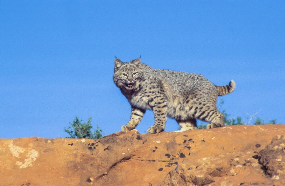 Download Free Stock HD Photo of Bobcat on a hill Online
