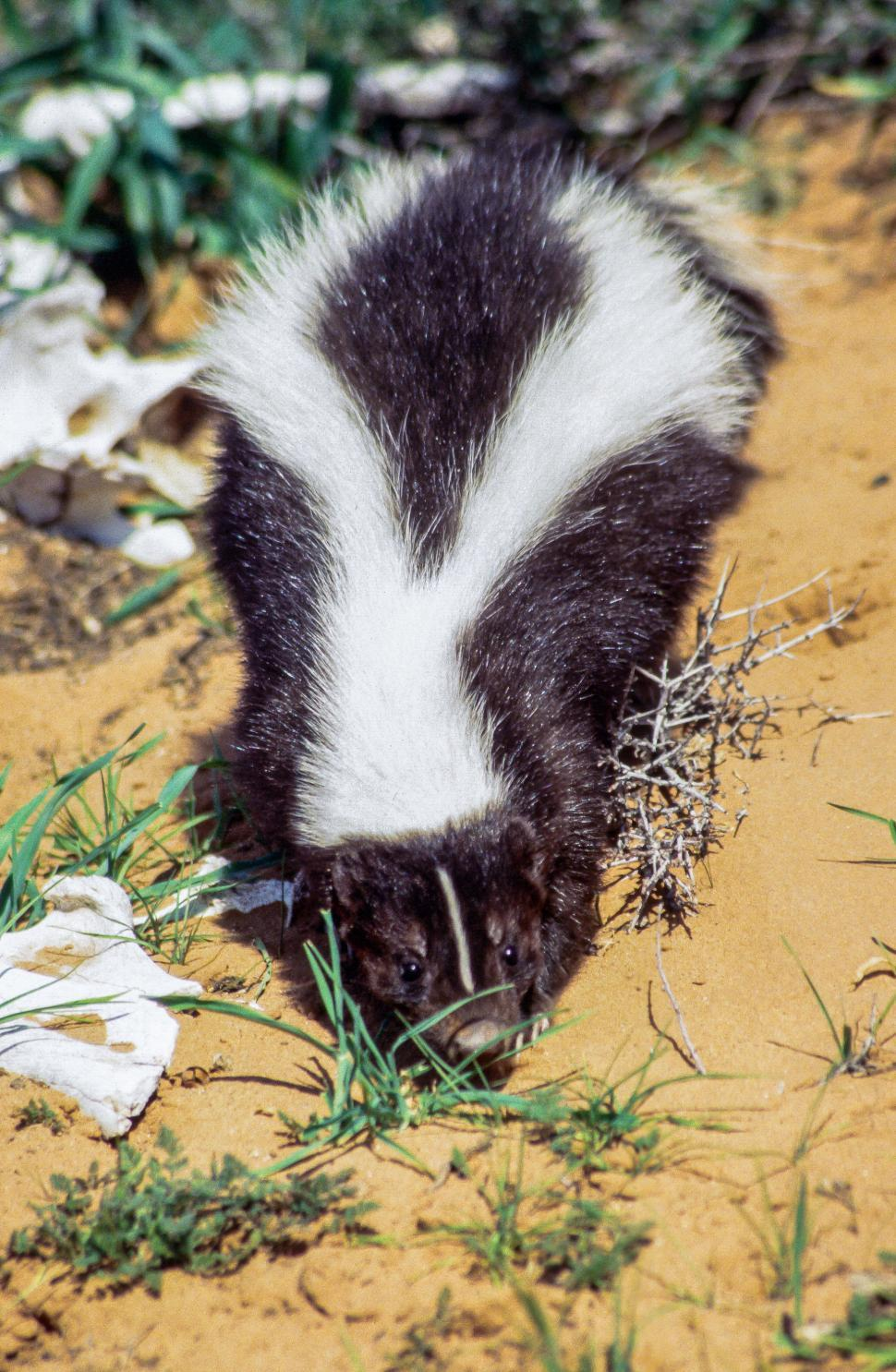 Download Free Stock HD Photo of Striped skunk Online