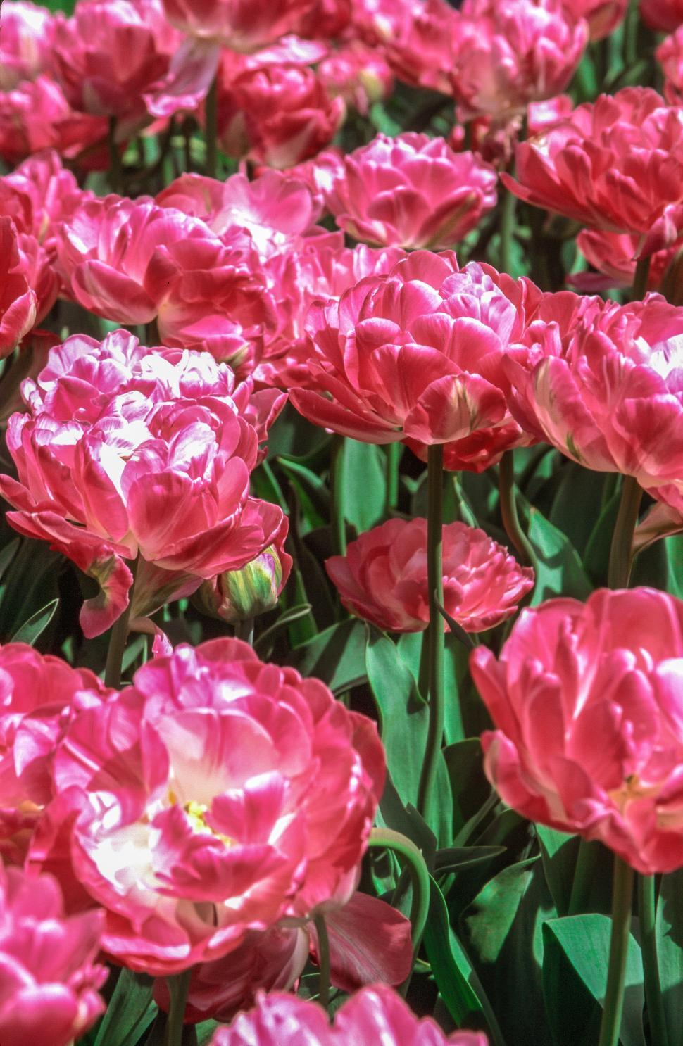 Get Free Stock Photos Of Pink Flowers Online Download Latest Free