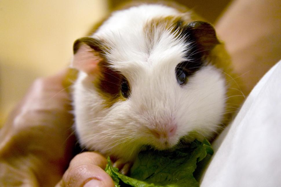 Download Free Stock HD Photo of Guinea Pig eats some greens Online