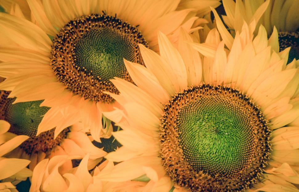 Download Free Stock HD Photo of Sunflowers Online