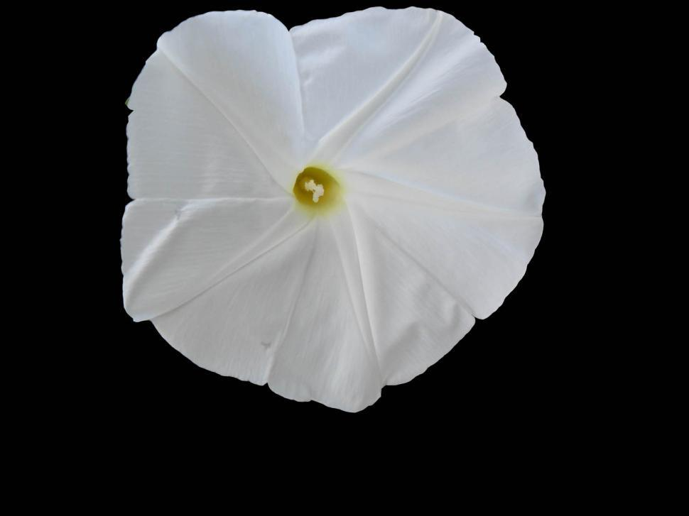 Download Free Stock HD Photo of White Morning Glory Online
