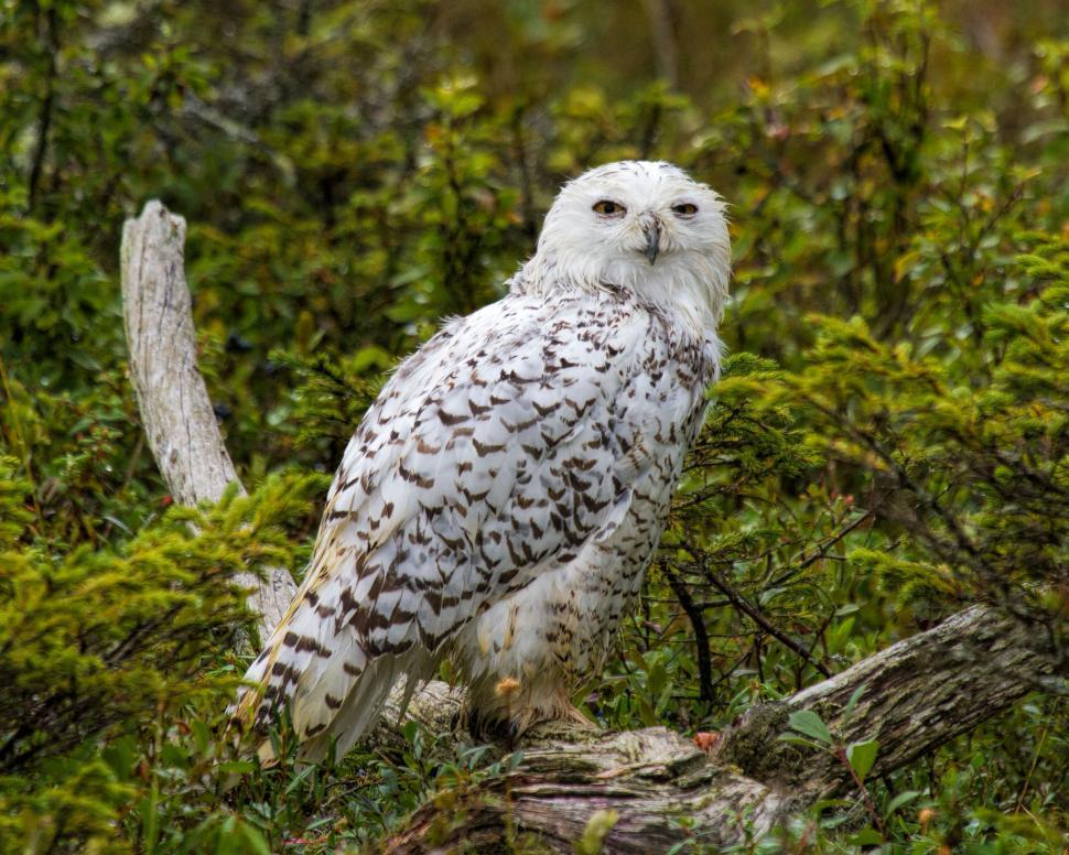 Download Free Stock HD Photo of Snowy owl Online