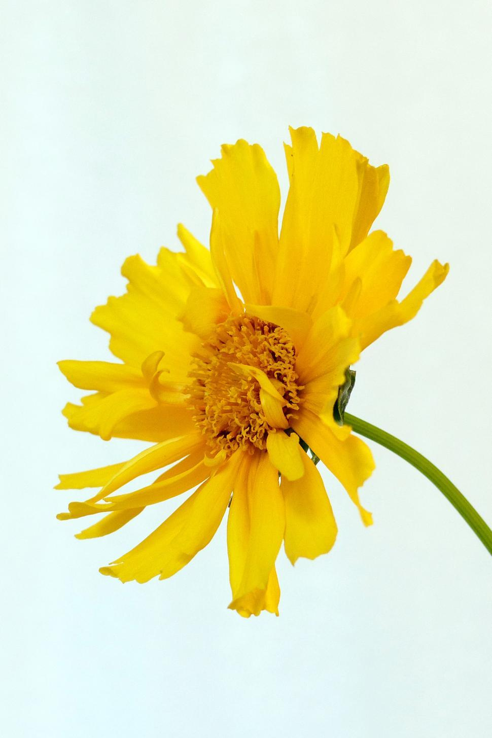 Get Free Stock Photos Of Yellow Coreopsis Flower Online Download