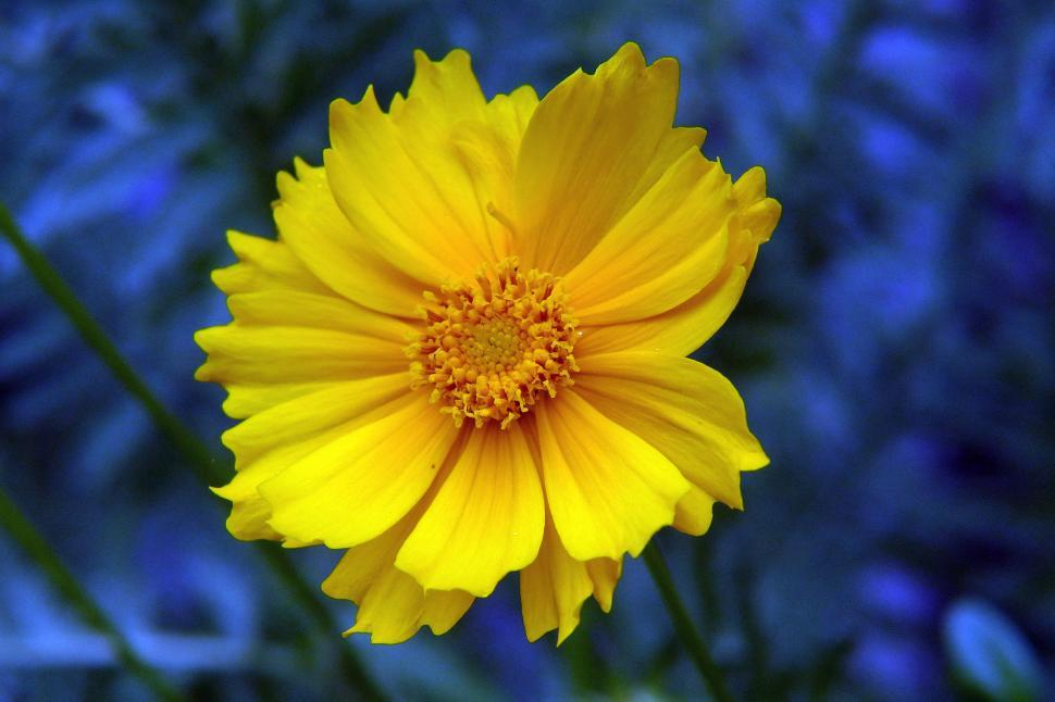 Download Free Stock HD Photo of Coreopsis Flower Online