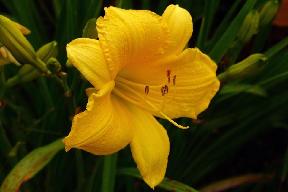 Download Free Stock HD Photo of Day Lily  Scentual Sundance  Online