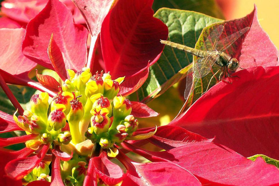 Download Free Stock HD Photo of Dragonfly on Poinsettia Online