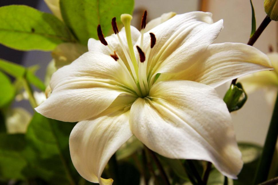 Download Free Stock HD Photo of Stargazer Lily Online