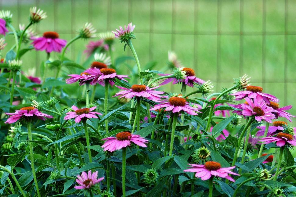 Download Free Stock HD Photo of Purple Coneflowers By Fence Online
