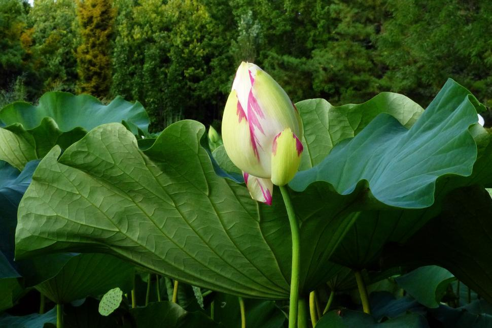 Download Free Stock HD Photo of Lotus Flower Bud and Leaf Online