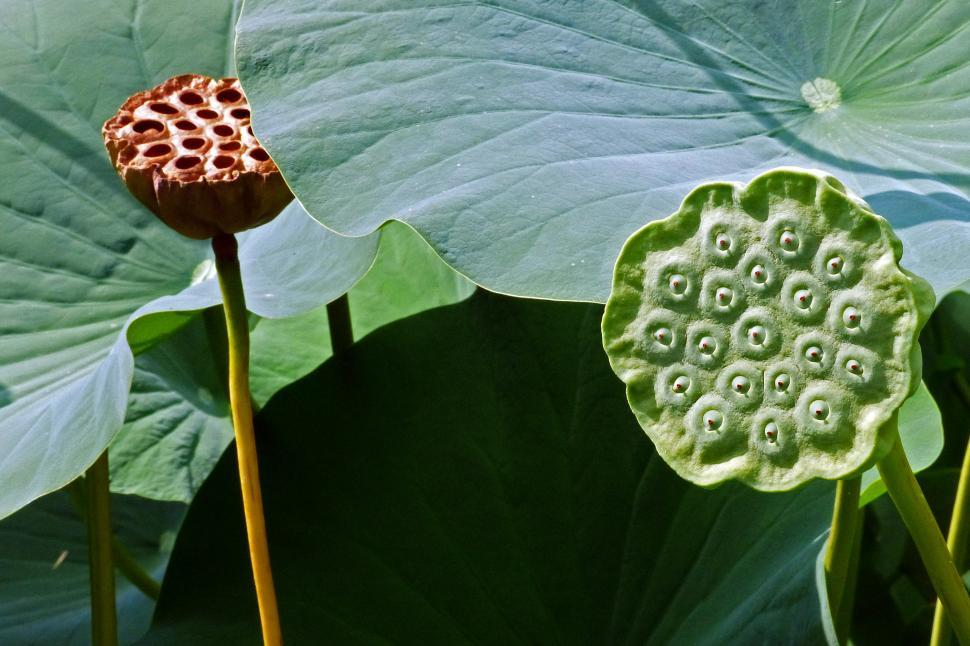 Get free stock photos of lotus flower seed pods online download download free stock hd photo of lotus flower seed pods online mightylinksfo
