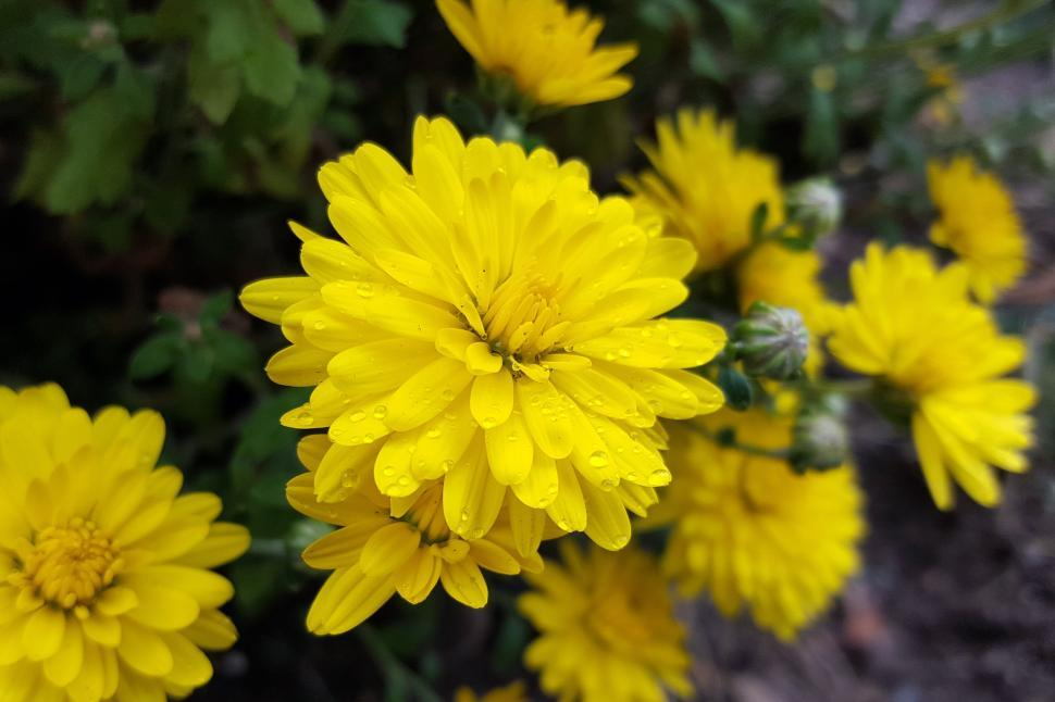 Download Free Stock HD Photo of Yellow Mums Online