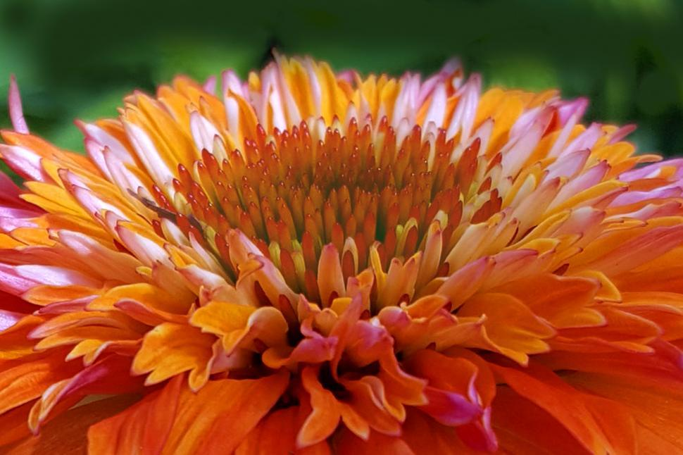 Download Free Stock HD Photo of Orange Conflower Closeup Online