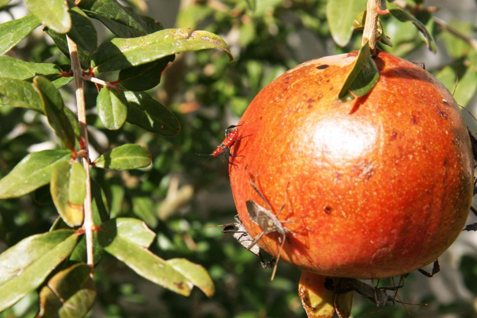 Download Free Stock HD Photo of Insects on the pomegranate Online