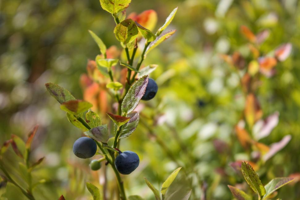 Download Free Stock HD Photo of Blueberries growing on blueberry plants in the forest  Online