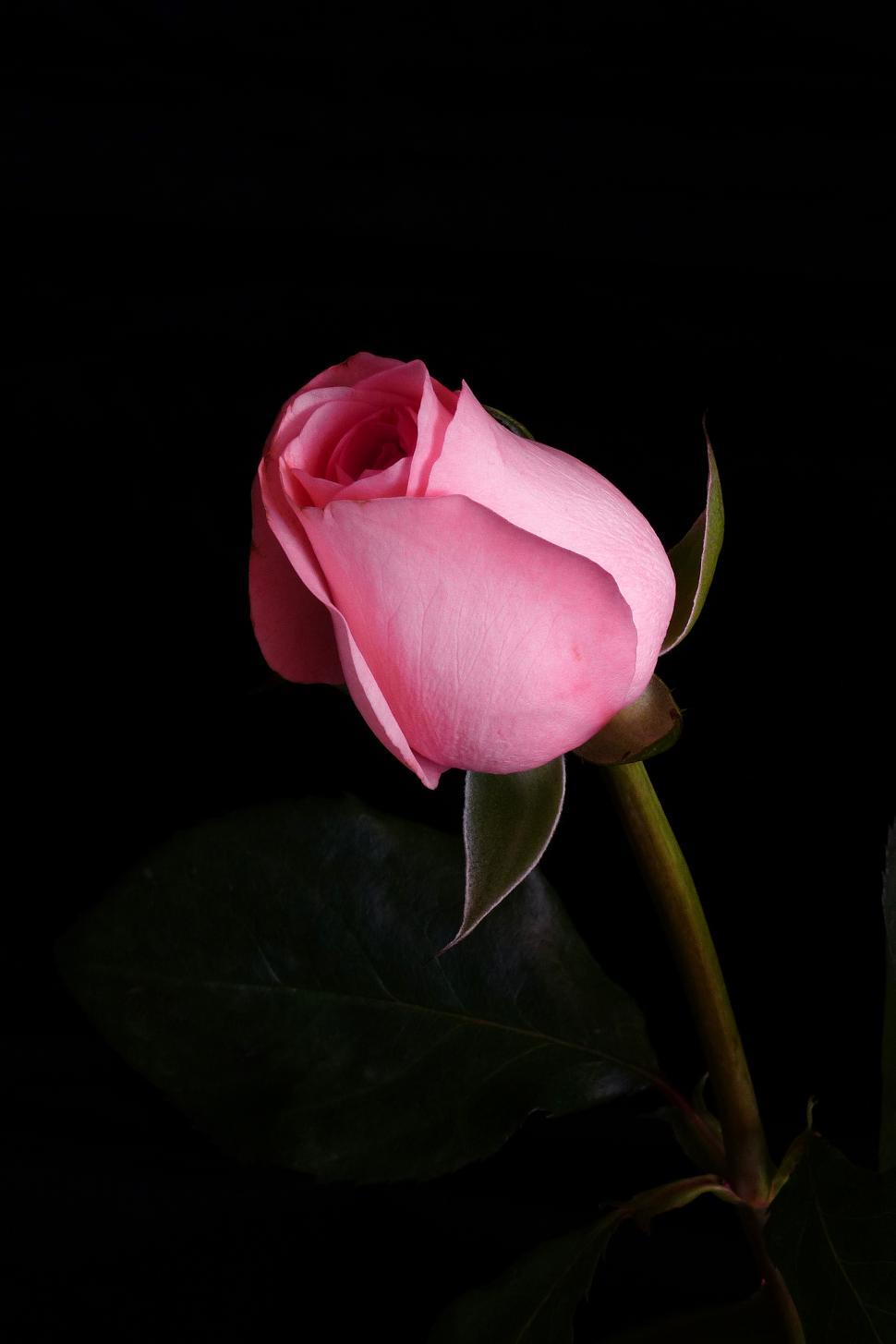Get free stock photos of pink rose flower online - Pink rose black background wallpaper ...