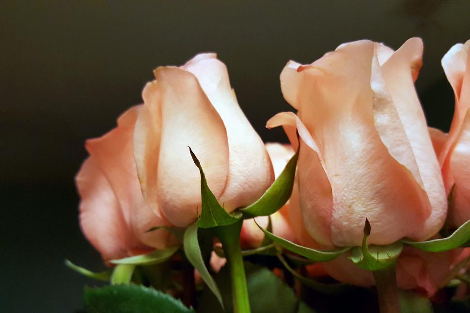 Download Free Stock HD Photo of Pink Roses Online