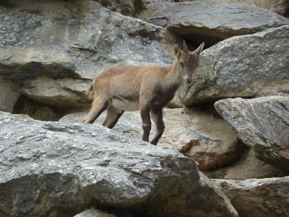 Download Free Stock HD Photo of Baby ibex  Online