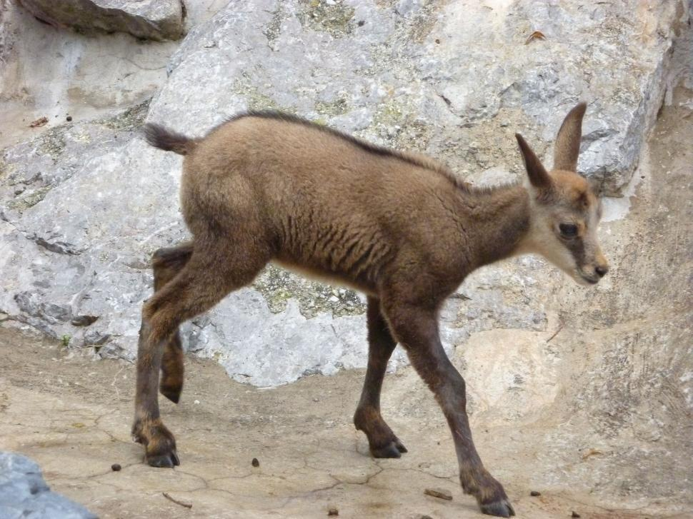 Download Free Stock HD Photo of Baby chamois  Online
