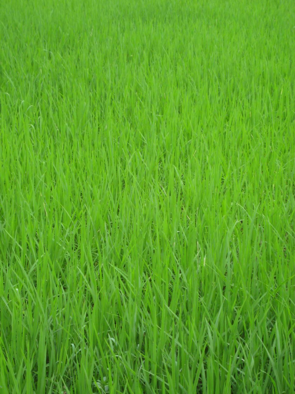 Download Free Stock HD Photo of Green grass  Paddy field Online