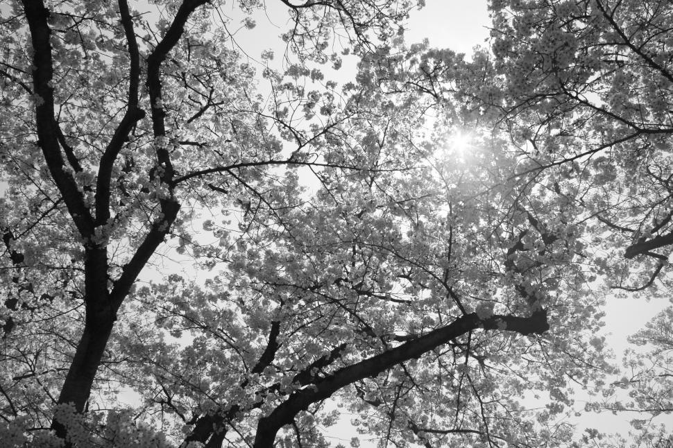 Download Free Stock HD Photo of Sakura tree and shining sun Online