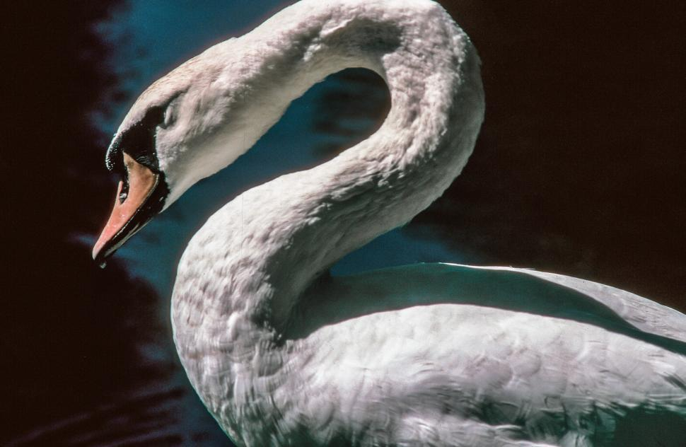 Download Free Stock HD Photo of Close - up of Swan Online