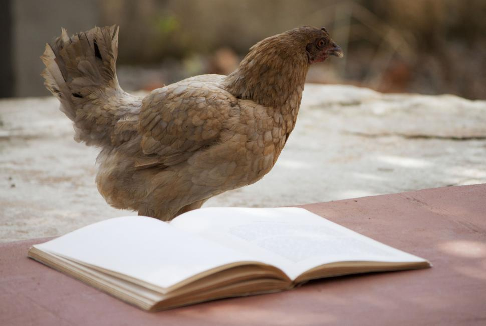 Download Free Stock HD Photo of Chicken reading a book Online