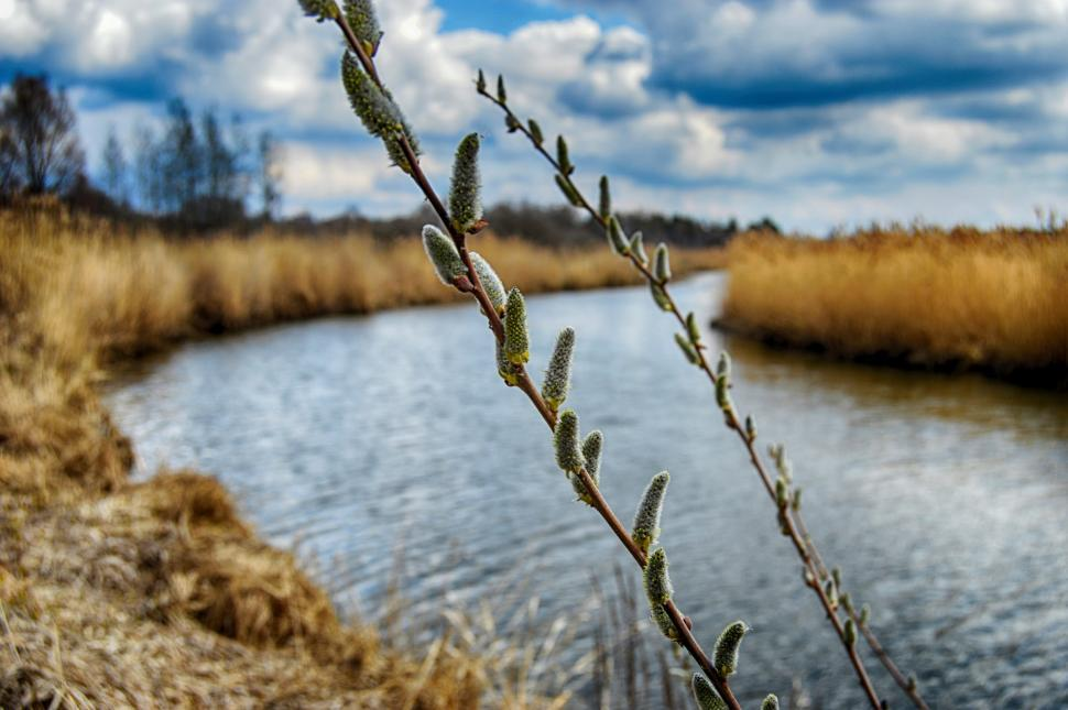 Download Free Stock HD Photo of Blossoming willow in the spring on a background of the river with banks overgrown with reeds Online