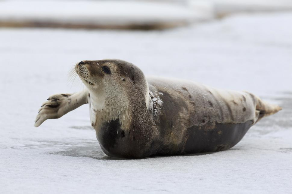 Download Free Stock HD Photo of Harp Seal with Flipper out Online