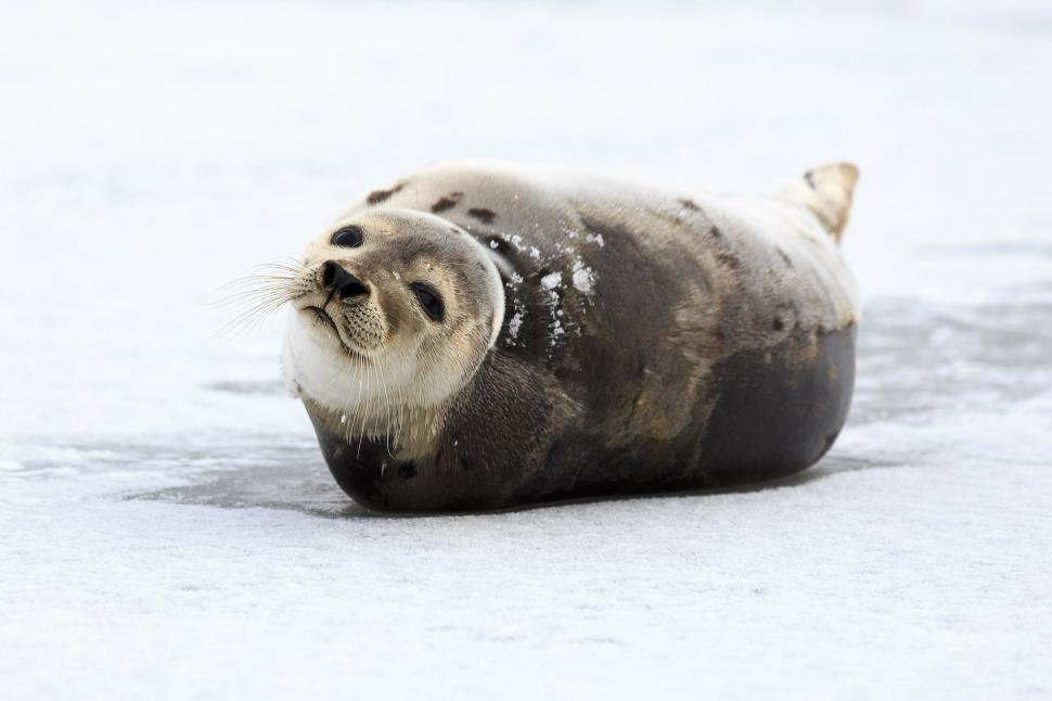 Download Free Stock HD Photo of harp seal Online