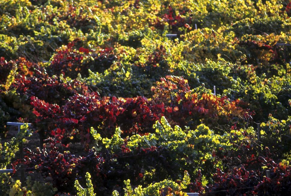 Download Free Stock HD Photo of grape vines Online