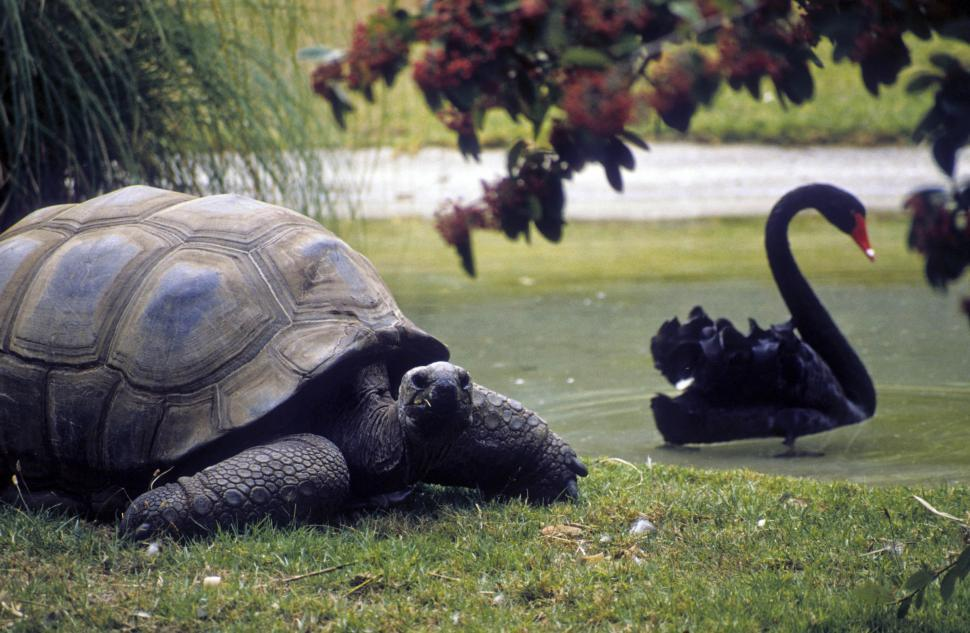 Download Free Stock HD Photo of tortoise and black swan Online