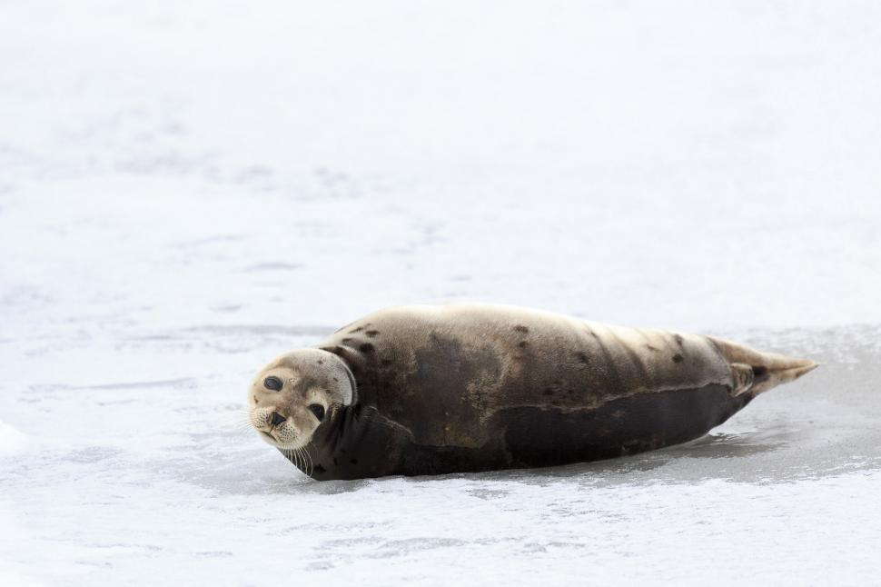 Download Free Stock HD Photo of Sweet Harp Seal Online