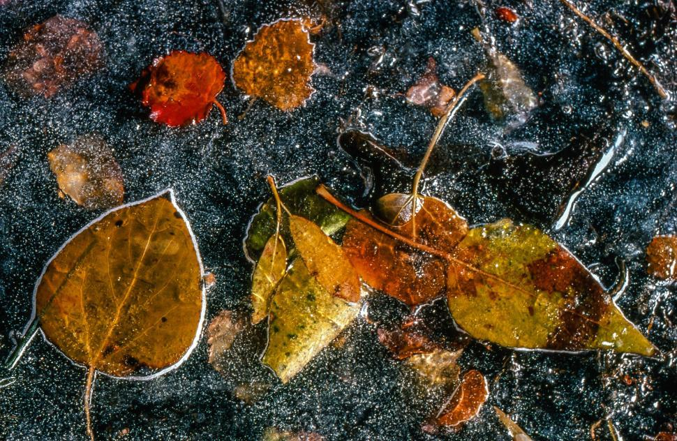 Free image of Frozen leaves on the surface of Intake II frozen lake near Bishop in California.