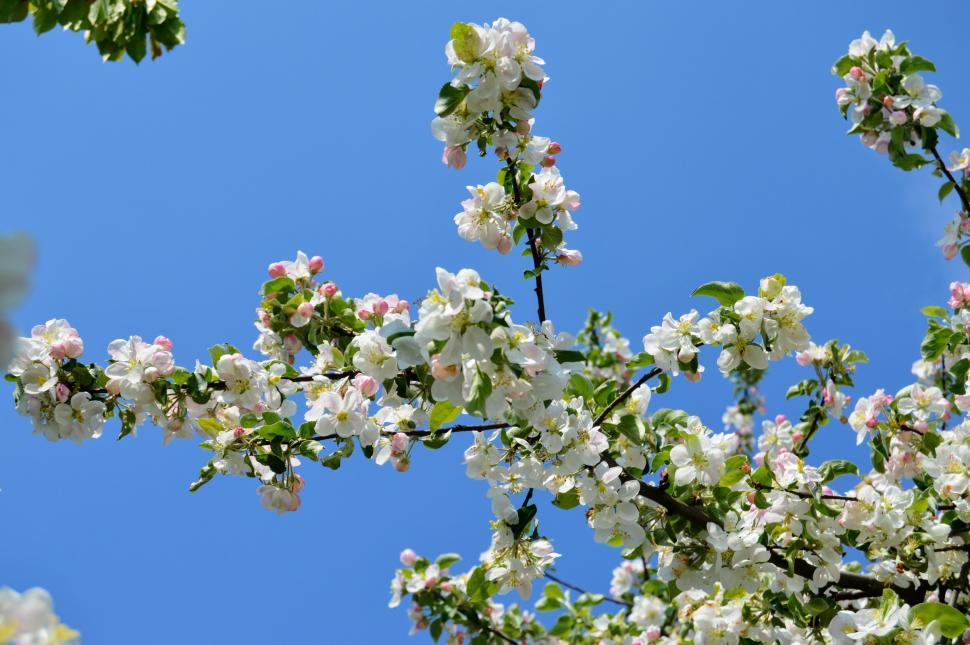 Get free stock photos of a branch of apple blossoms with white a branch of apple blossoms with white flowers against a blue sky in early spring mightylinksfo