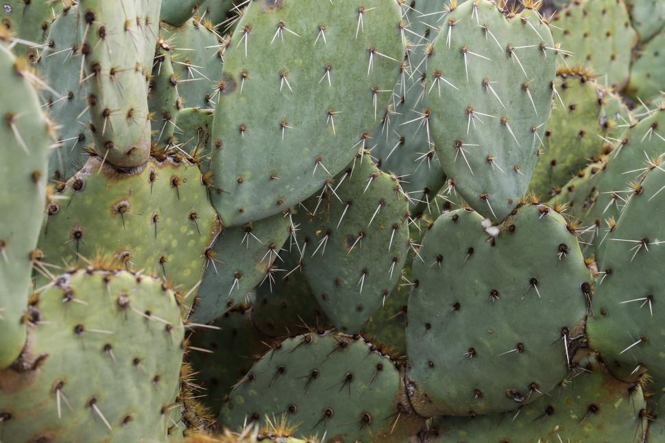 Download Free Stock HD Photo of Prickly pear cactus pads Online