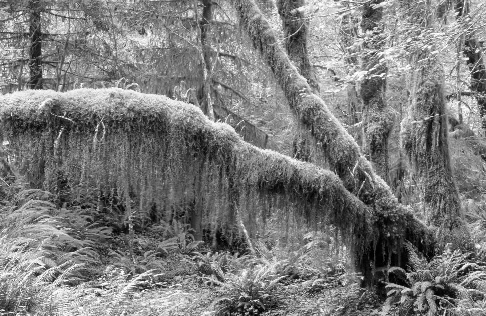 Download Free Stock HD Photo of Black and White of Moss and Fern covered forest Online