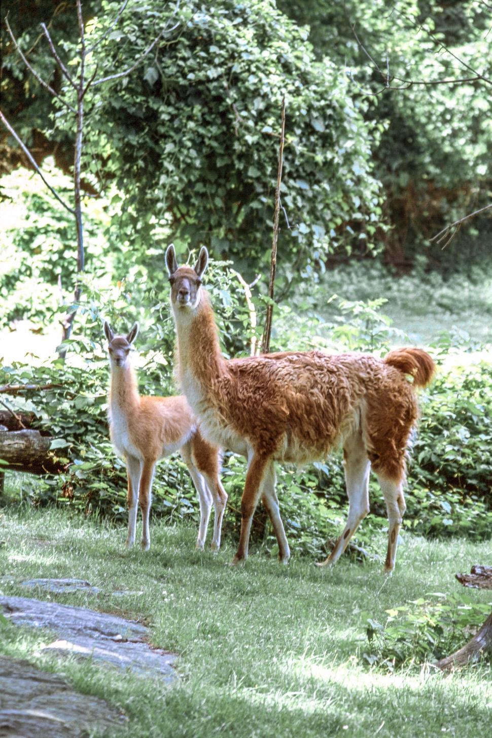 Download Free Stock HD Photo of Two Llamas Online