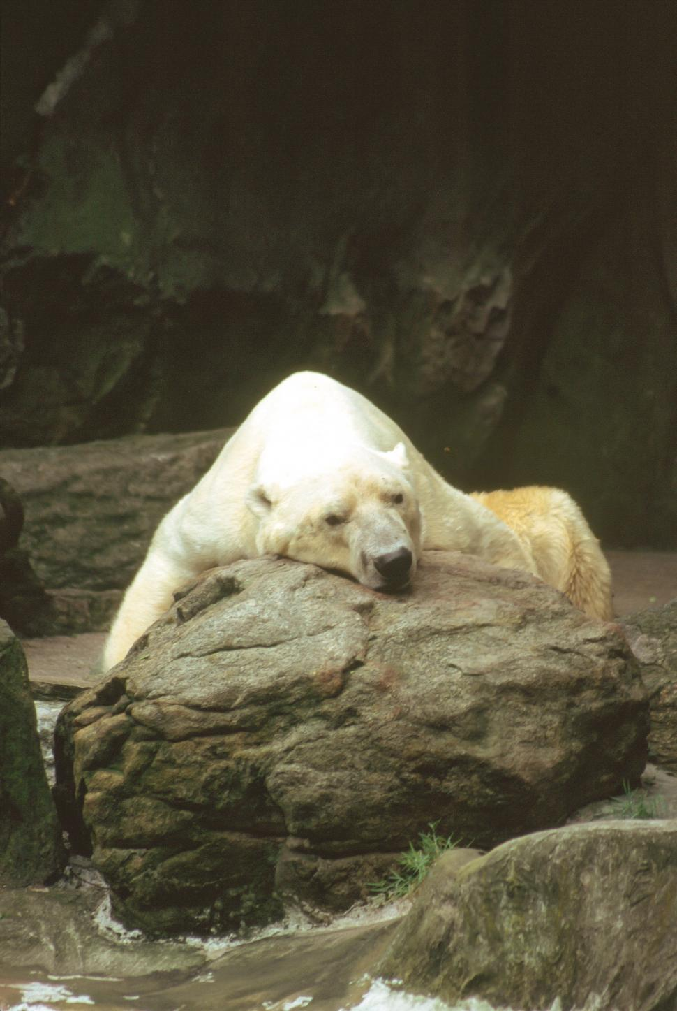 Download Free Stock HD Photo of Polar Bear on a rock Online